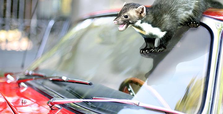 Marder rutscht vom Autodach über die Windschutzscheibe